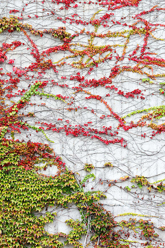 Virginia creeper vine on a concrete wall by Marcel for Stocksy United