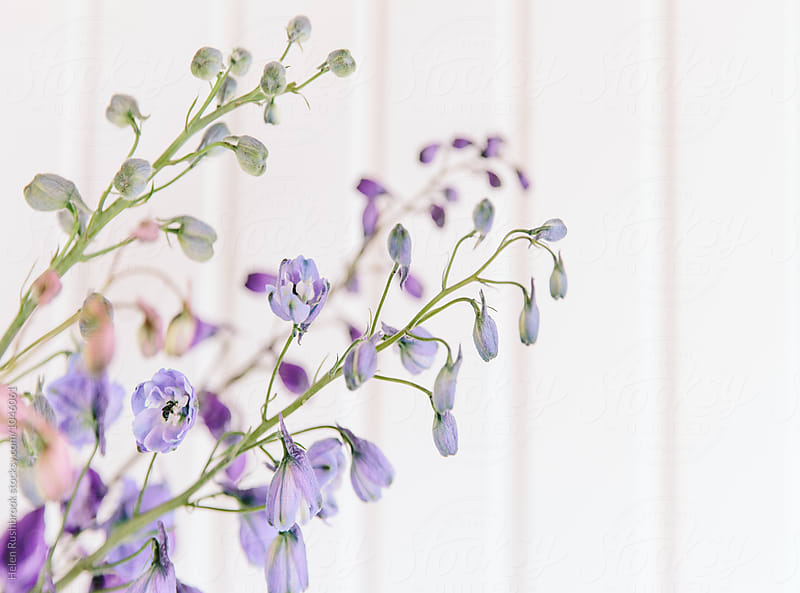 Pastel coloured delphinium flowers by Helen Rushbrook for Stocksy United