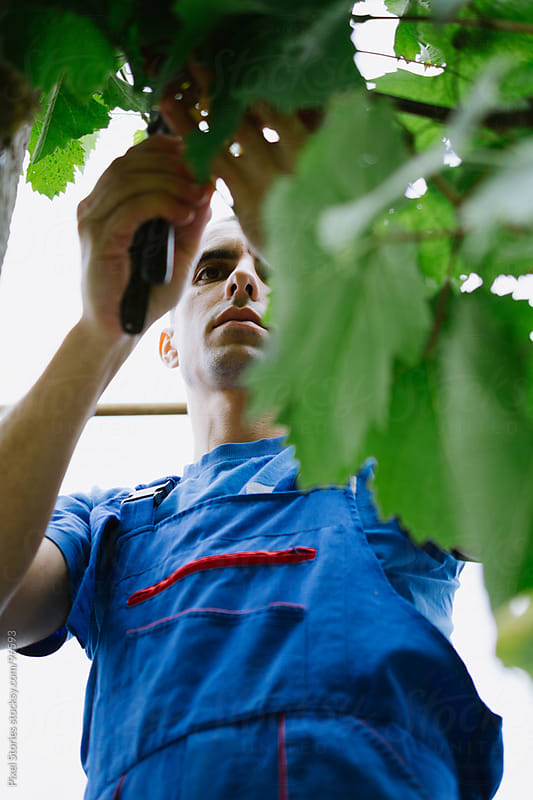 Man picking grapes by Pixel Stories for Stocksy United