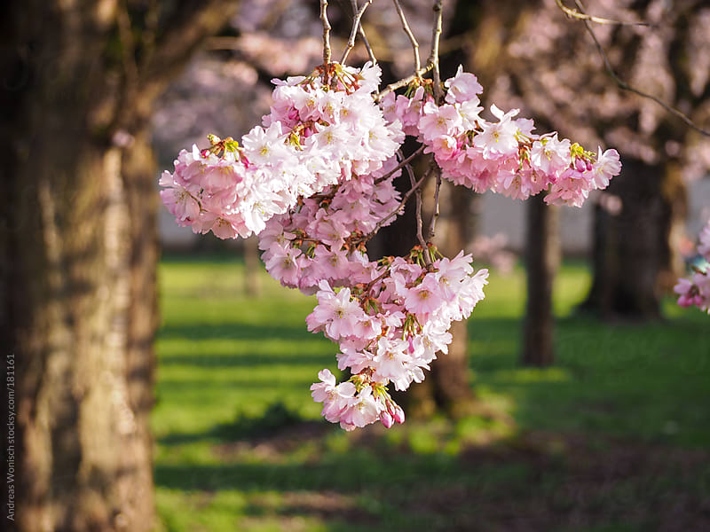 Cherry Blossom Macro by Andreas Wonisch for Stocksy United