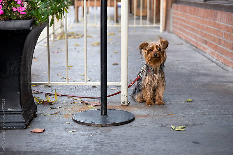 Yorkshire Terrier Waiting by Jeff Wasserman for Stocksy United