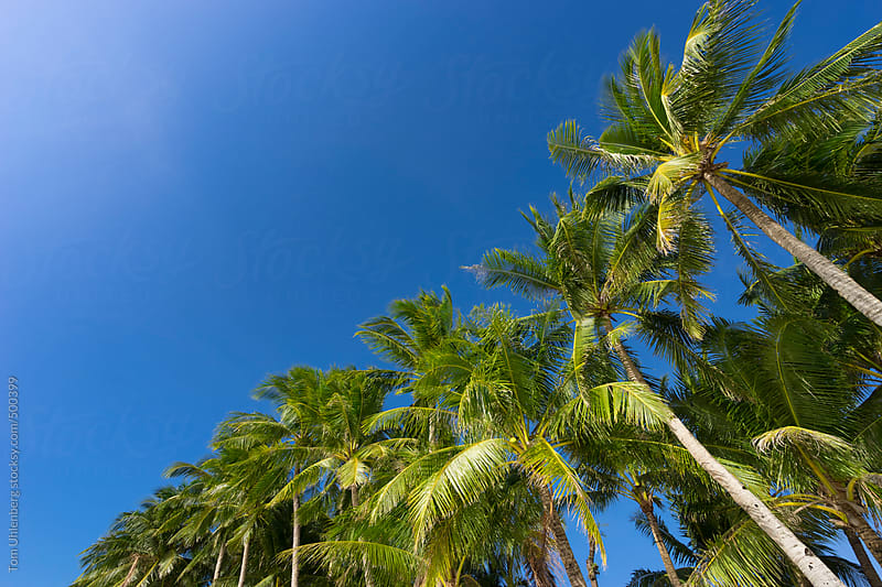 Coconut Palm Trees under Blue Sky, with Copyspace by Tom Uhlenberg for Stocksy United
