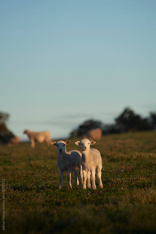 Two Lambs In A Field by Adrian Young for Stocksy United