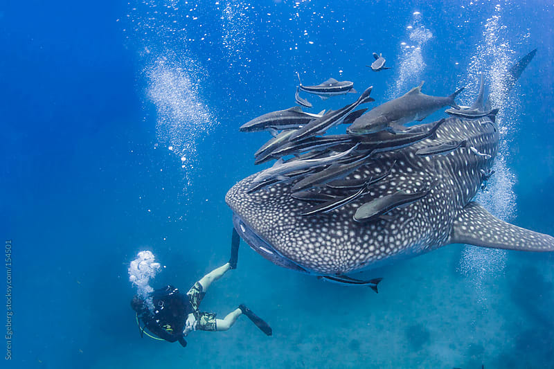 Scuba diver swimming with giant Whale Shark  under water in the ocean by Soren Egeberg for Stocksy United