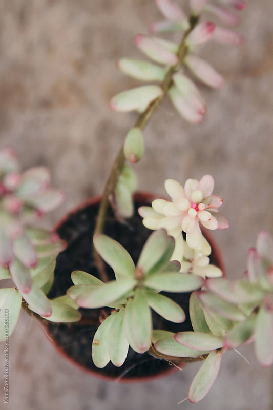 Soft pastel colored Sedum Aurora succulent in a plastic terra flower pot.  by Kaat Zoetekouw for Stocksy United