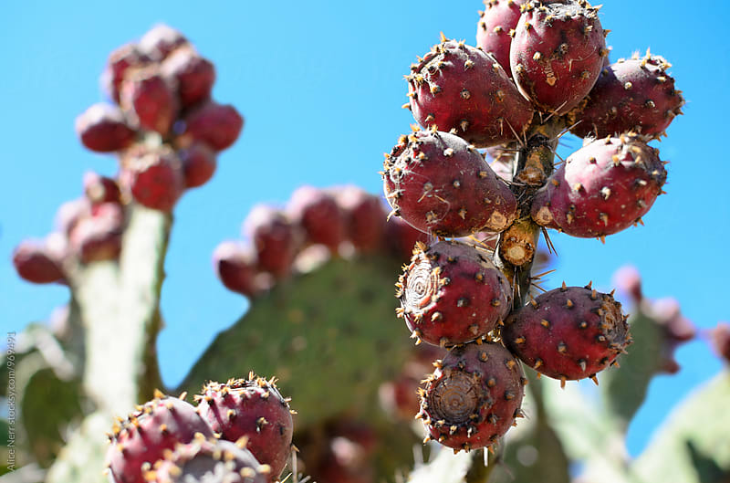 Nopal cactus with tuna fruits on it by Alice Nerr for Stocksy United