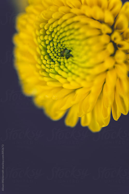 Up Close Shot Of A Yellow Mum by Alison Winterroth for Stocksy United