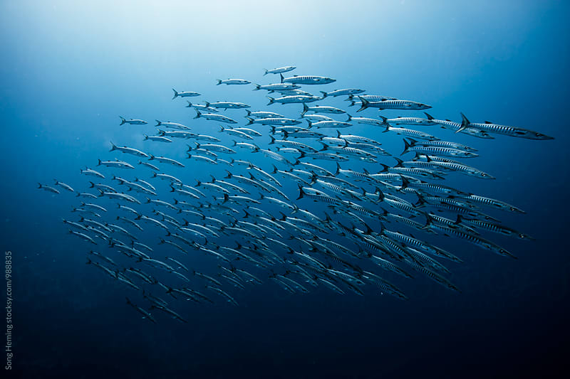 Diving with school of barracuda by Song Heming for Stocksy United