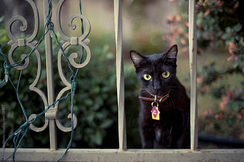 Green-eyed black cat behind fence with Christmas lights by Rachel Bellinsky for Stocksy United