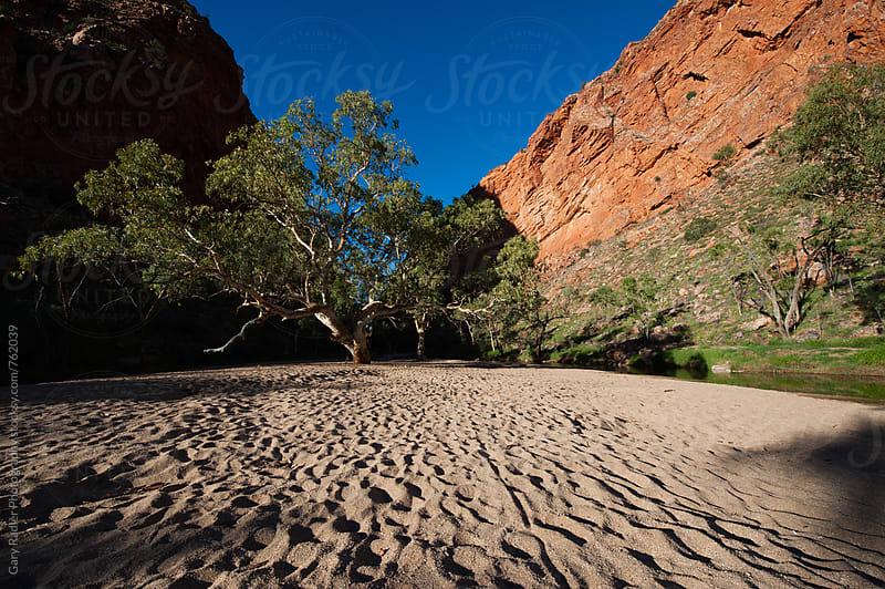 Eucalyptus Tree in the Australian Desert by Gary Radler Photography for Stocksy United