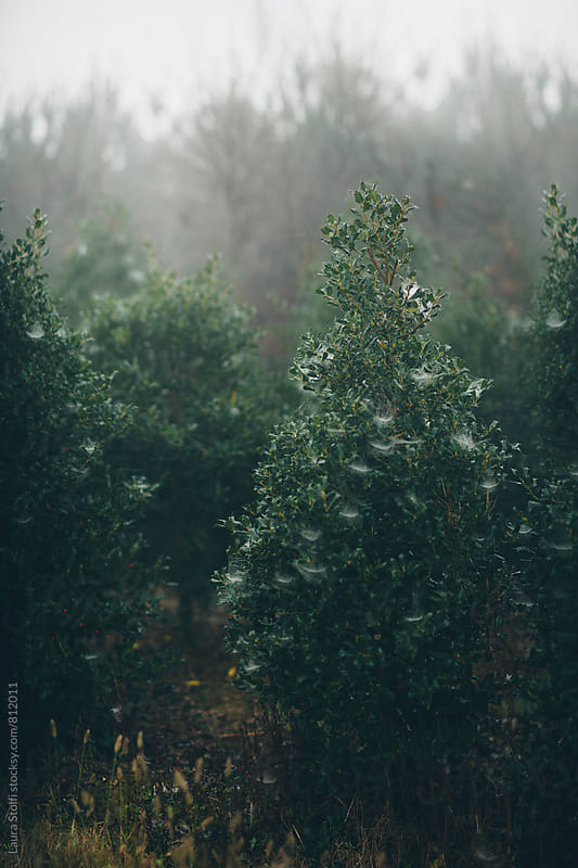 Plant full of spider webs in foggy winter morning by Laura Stolfi for Stocksy United