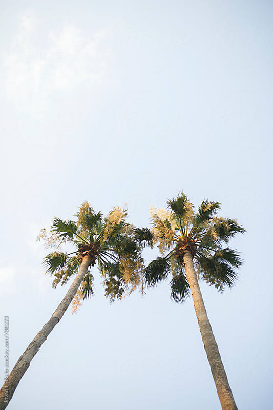 Palm trees in love by Jovana Rikalo for Stocksy United