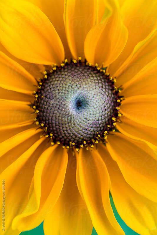 sunflower by alan shapiro for Stocksy United