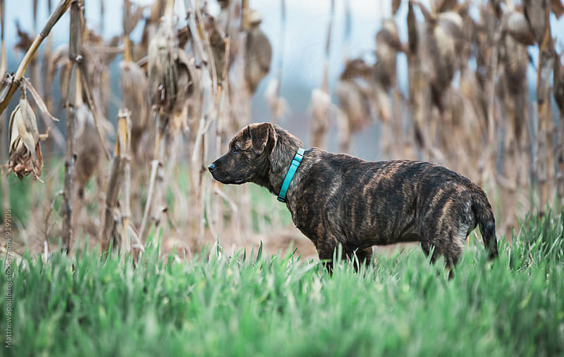 Young pet dog standing in corn field by Matthew Spaulding for Stocksy United