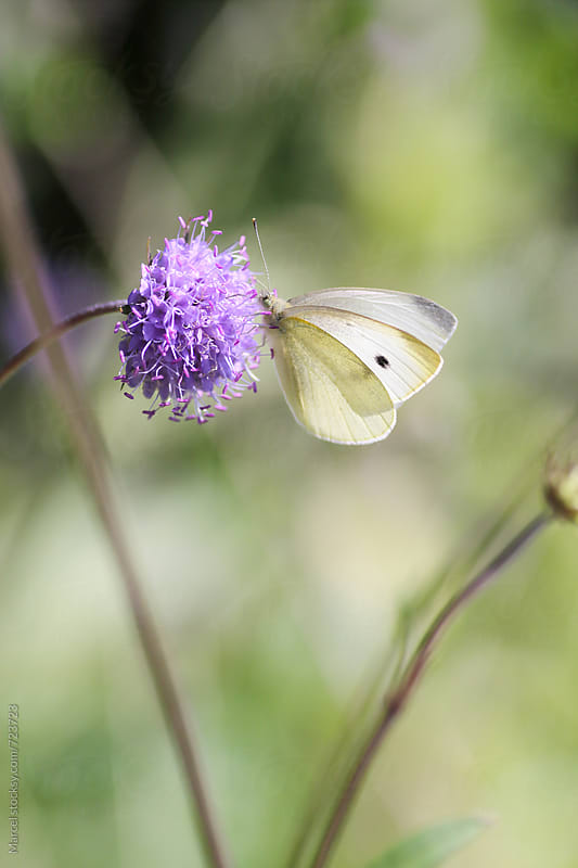 Cabbage white butterfly on jasione flower by Marcel for Stocksy United