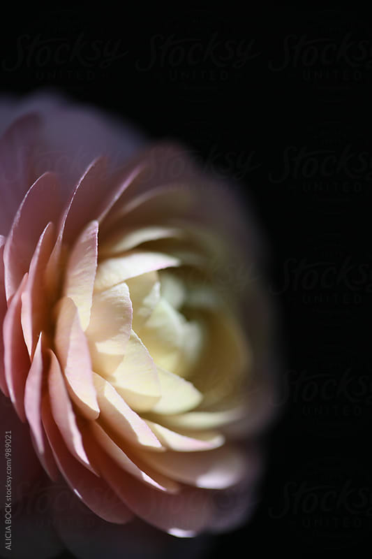 Close Up Of A Pastel Pink and Yellow Ranunculus Flower Against A Black Background by ALICIA BOCK for Stocksy United