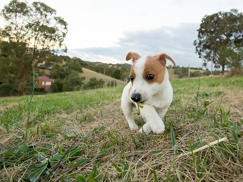 Cute Little Puppy by Gary Radler Photography for Stocksy United