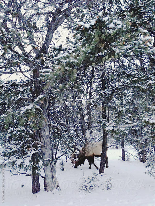 Snowy Forest Elk by Kevin Russ for Stocksy United