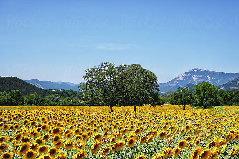 Sunflower fields in France by Marcel for Stocksy United