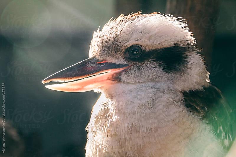 Kookaburra (genus Dacelo) by Alejandro Moreno de Carlos for Stocksy United