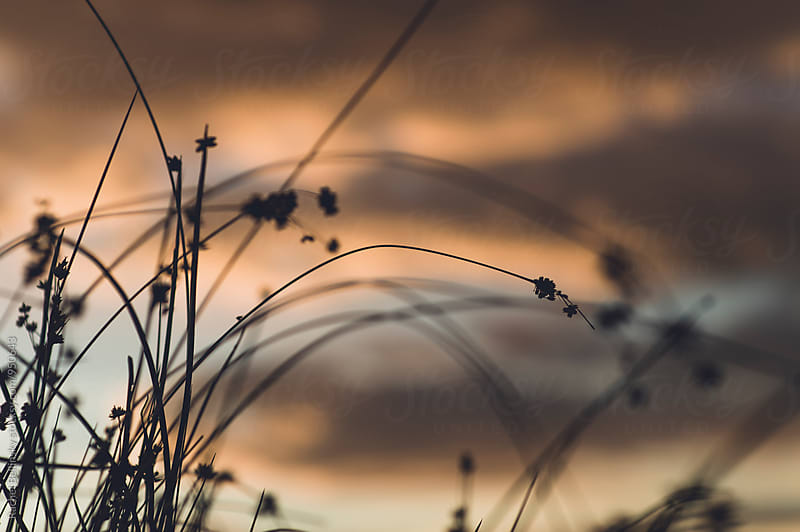 The silhouette of tall bending grasses against a cloudy sunset sky by Rachel Bellinsky for Stocksy United