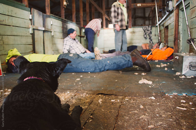 Dog watching Shearers having a Break by Gary Radler Photography for Stocksy United