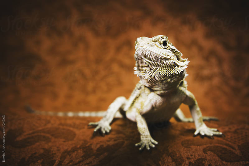 Bearded Dragon by Kevin Russ for Stocksy United