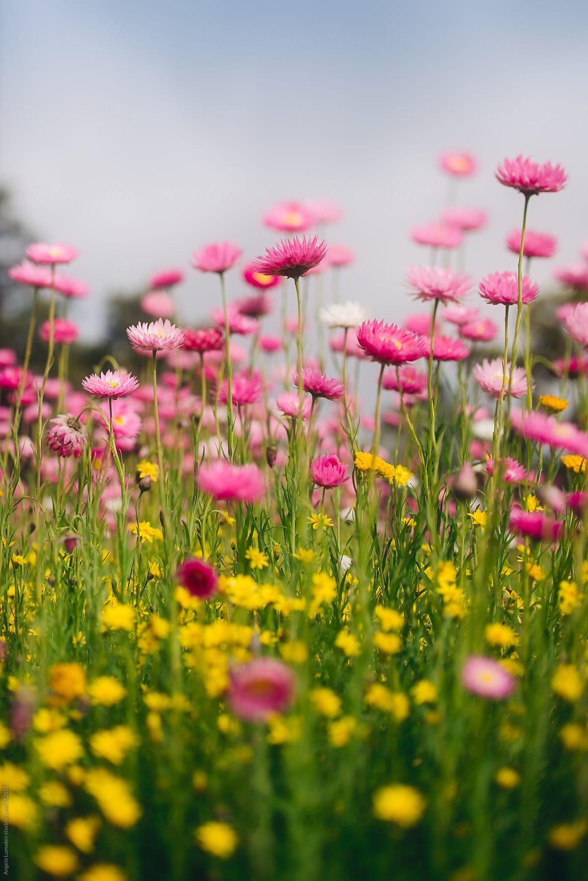 Everlasting Paper Daisy Wildflowers In Spring In Western Australia