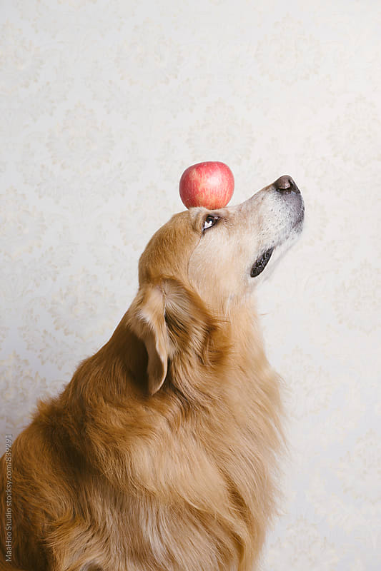 Retriever with an apple by Maa Hoo for Stocksy United