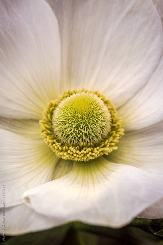 Anemone macro by alan shapiro for Stocksy United