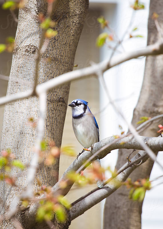 Beautiful blue jay bird sitting serenely on a branch. by anya brewley schultheiss for Stocksy United