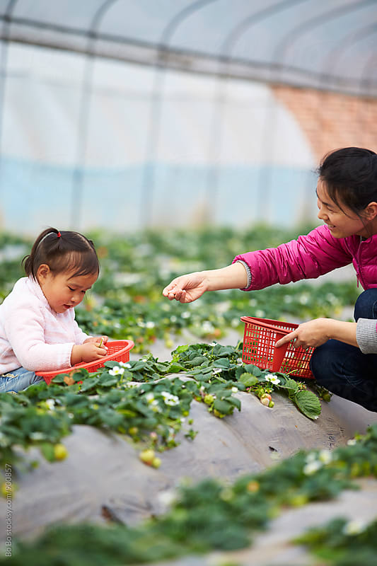 little asian girl picking strawberry with her mother by Bo Bo for Stocksy United