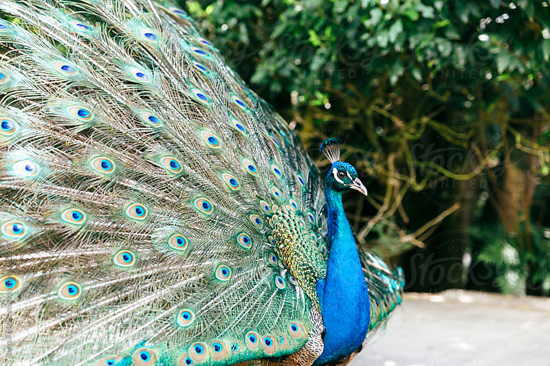 Side view of male peacock with feathers on display by Jacqui Miller for Stocksy United