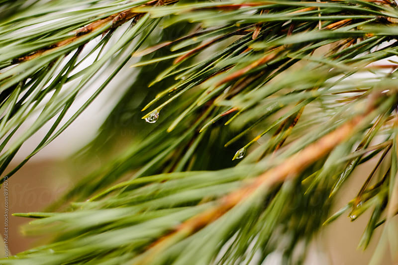Water drop on the end of a pine needle by Justin Mullet for Stocksy United