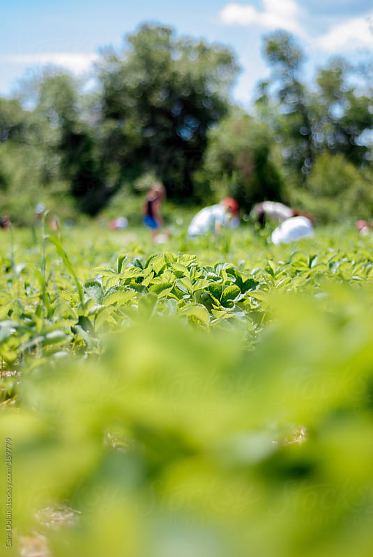 People outdoors pick strawberries in a farm field by Cara Dolan for Stocksy United