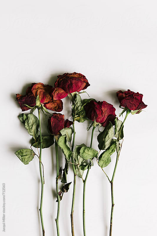 Dried red roses on a white background by Jacqui Miller for Stocksy United