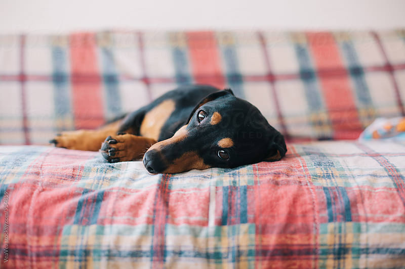 Dog lying on the couch  by Marija Mandic for Stocksy United