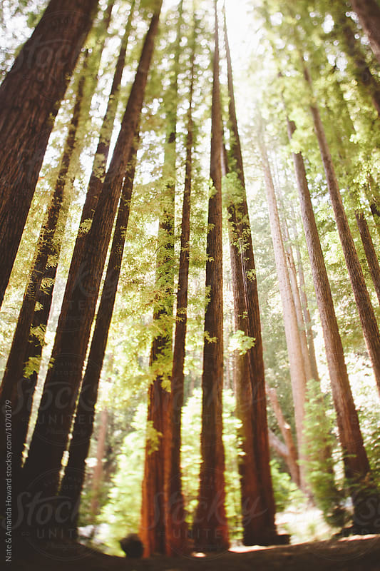 Redwood Forest by Nate & Amanda Howard for Stocksy United