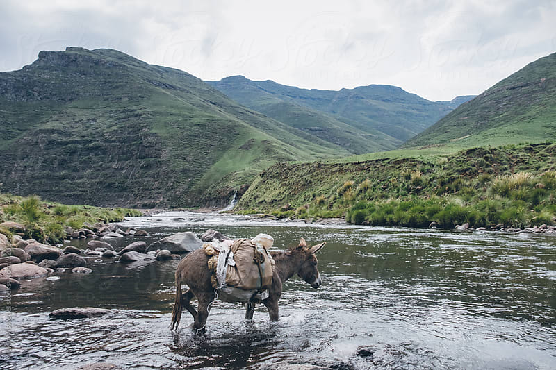 pack donkey crossing a mountain river by Micky Wiswedel for Stocksy United