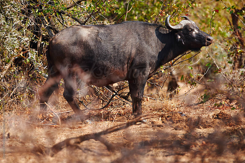 wild african buffalo by Daxiao Productions for Stocksy United