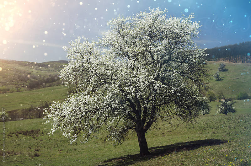 Tree in bloom in spring with fairy tale particles by Cosma Andrei for Stocksy United