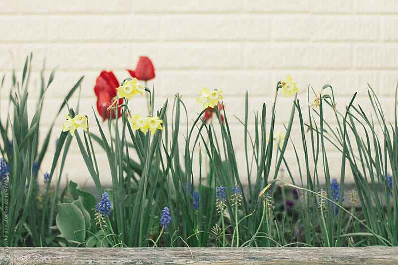Daffodil and tulip blooms in garden in spring by Kerry Murphy for Stocksy United