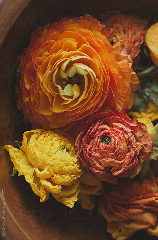 Fresh and dried Ranunculus flowers by Kristin Duvall for Stocksy United