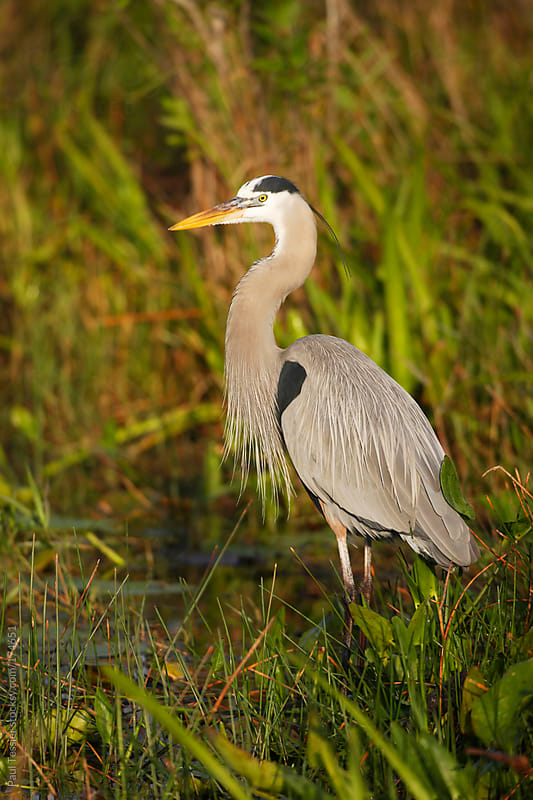 Great Blue Heron by Paul Tessier for Stocksy United