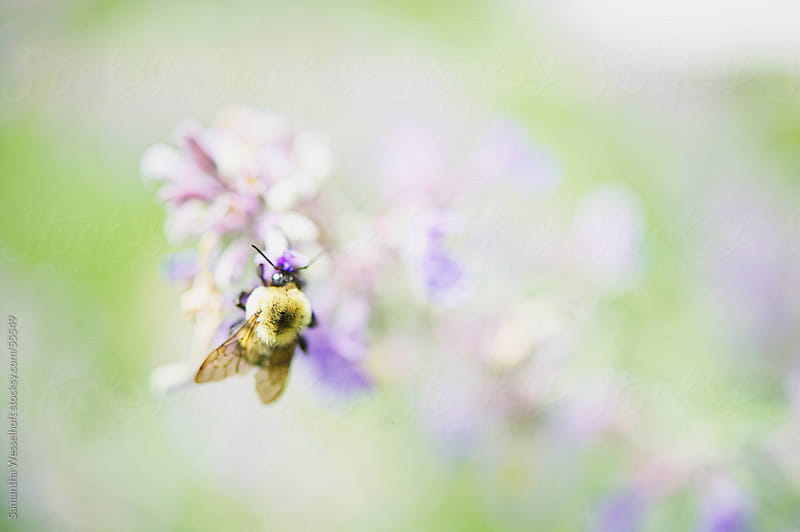 bee on catmint by Samantha Wesselhoft for Stocksy United