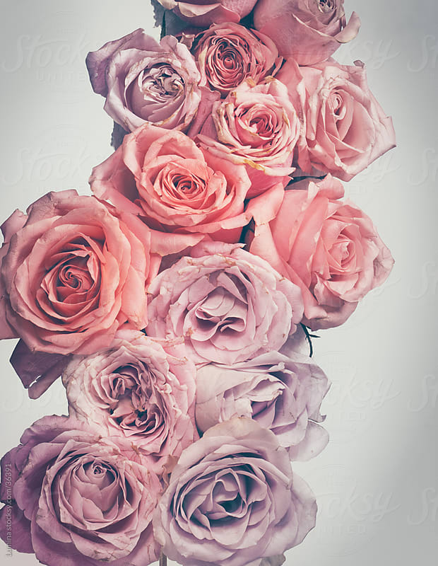 Pink Roses by Lumina for Stocksy United