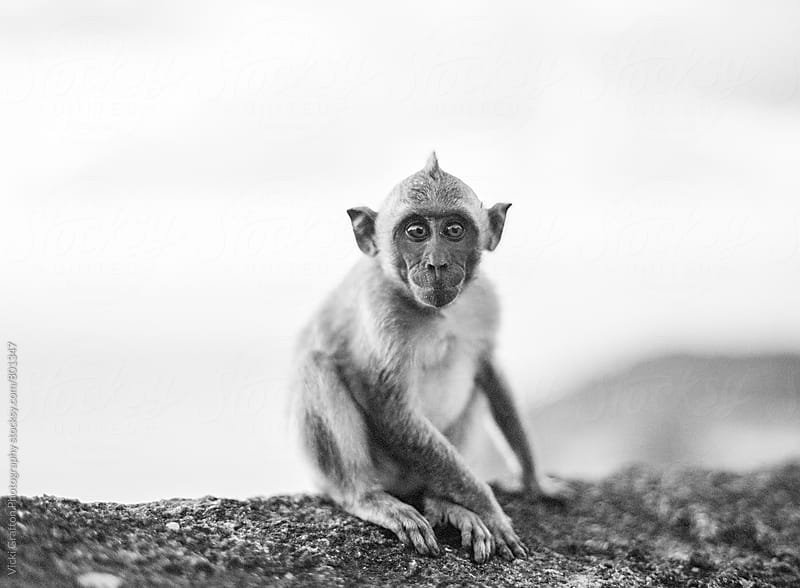 Monkey at Uluwatu Temple Bali  by Vicki Grafton Photography for Stocksy United