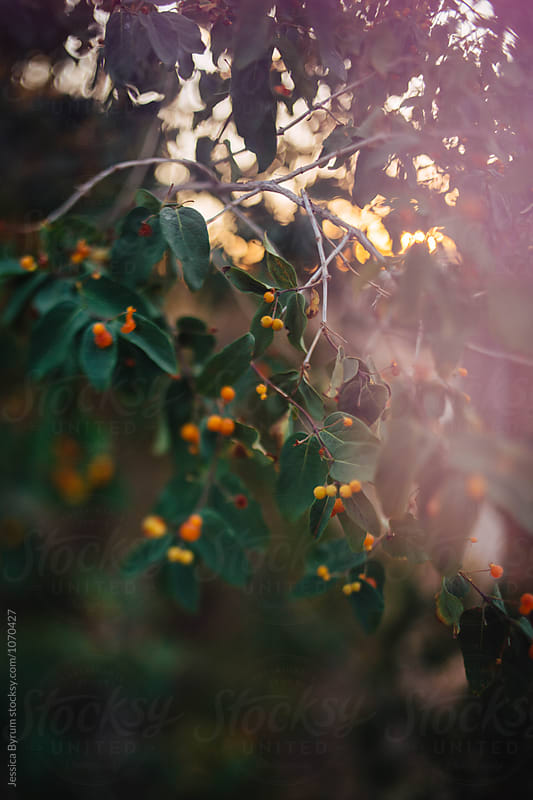 Freelensed Berries by Jessica Byrum for Stocksy United