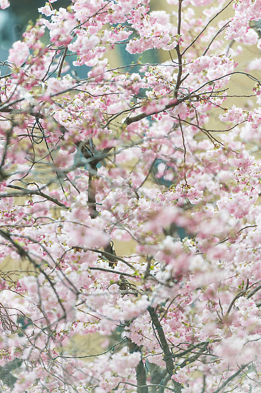Cherry Blossom on trees by Craig Holmes for Stocksy United