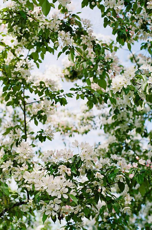 Apple blossom by Liubov Burakova for Stocksy United